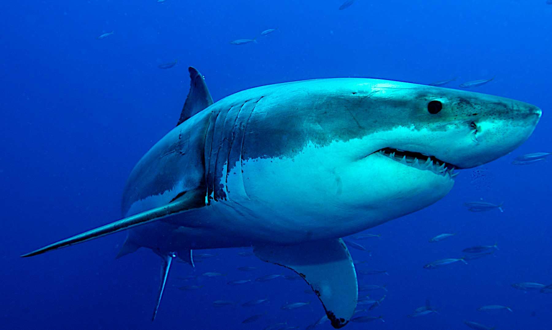 Detectado un tiburón blanco de 6 metros en Lanzarote frente a Famara