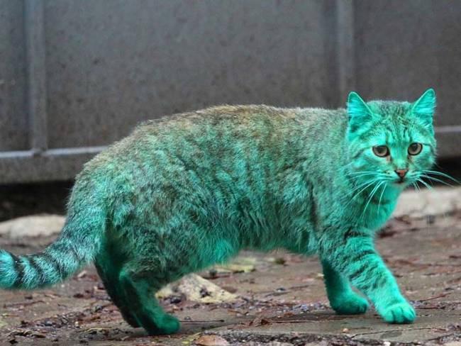 y darte la prueba de la existencia del gato verde para que alucines, una vez más, con estos graciosos animales. ¿Por qué dirías que es de color verde?