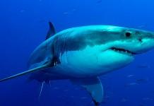 Acariciando al gran tiburón blanco