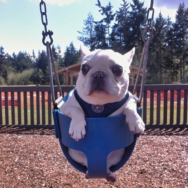 bulldog3