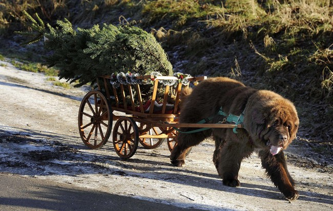 Dylan, a Newfoundland dog, pulls Christmas trees from the forest to a customer's car at Dalby, near Pickering