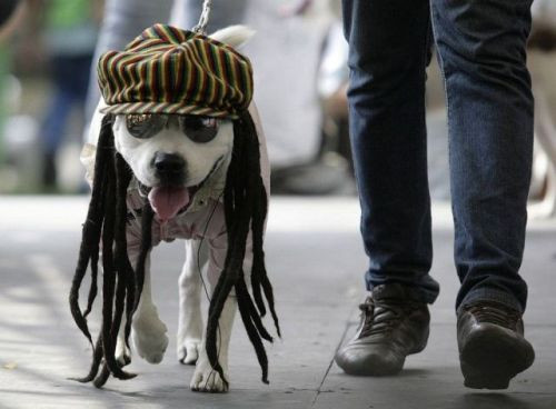 A dog dressed as a Rastafarian participates in the Family Pet Festival in Cali October 25, 2009. REUTERS/Jaime Saldarriaga (COLOMBIA SOCIETY ANIMALS IMAGES OF THE DAY)