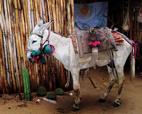 burro-dizfraz07