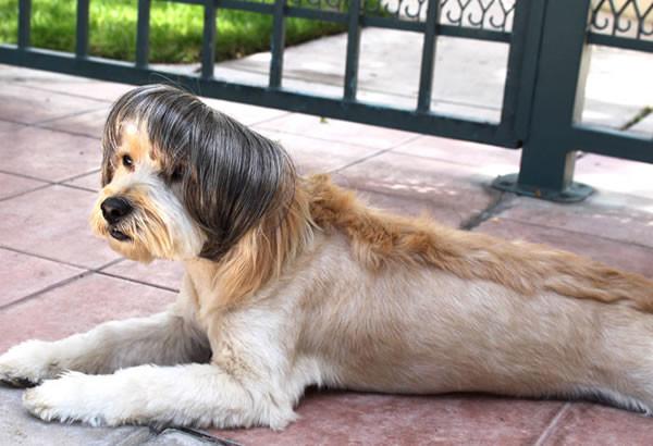pelucas-mascotas-12-600x410