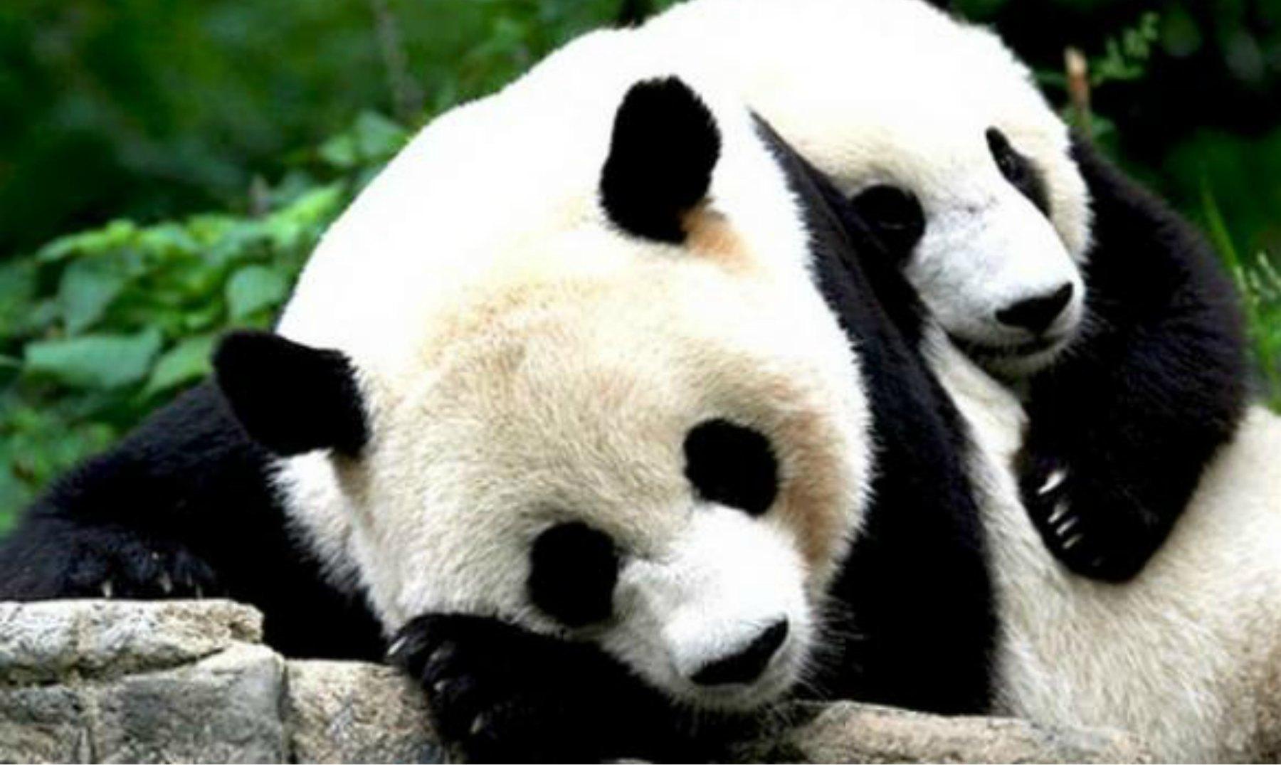 Osos Pandas Que No Quieren Tomarse Su Medicina