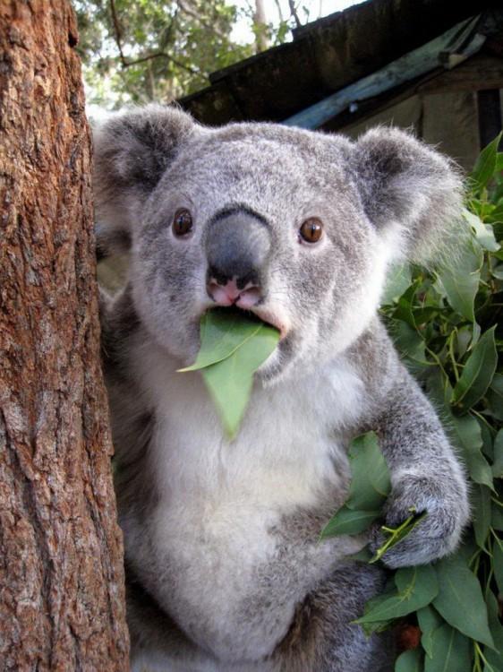 koala-562x750