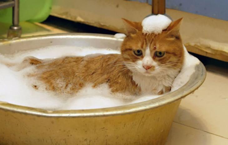 Gatos-que-aman-bañarse-11-730x465
