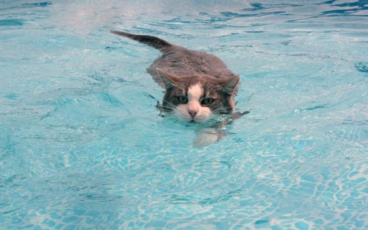 Gatos-que-aman-bañarse-12-730x456