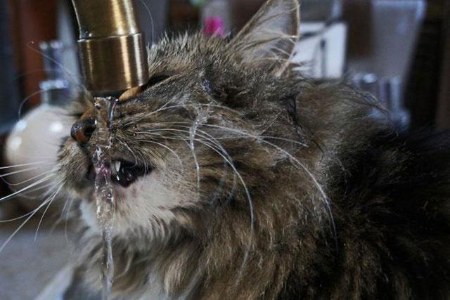 Gatos-que-aman-bañarse-13