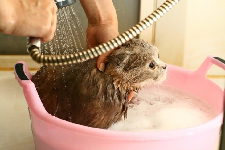 Gatos-que-aman-bañarse-14-730x487