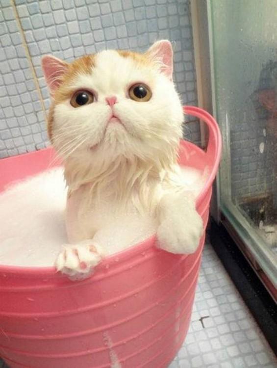 Gatos-que-aman-bañarse-17-565x750