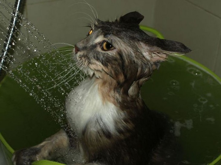 Gatos-que-aman-bañarse-5-730x546