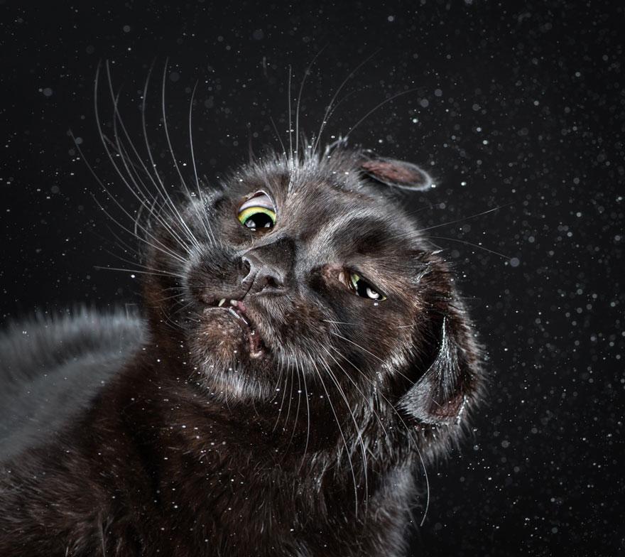 retratos-gatos-sacudiendose-carli-davidson-9
