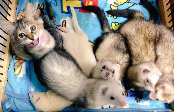 gato-komari-adoptado-familia-hurones-11