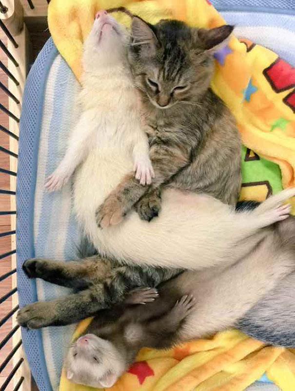 gato-komari-adoptado-familia-hurones-3