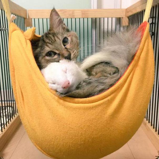 gato-komari-adoptado-familia-hurones-4