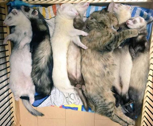 gato-komari-adoptado-familia-hurones-8
