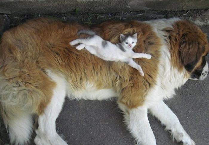 gatos-acostados-sobre-perros-01