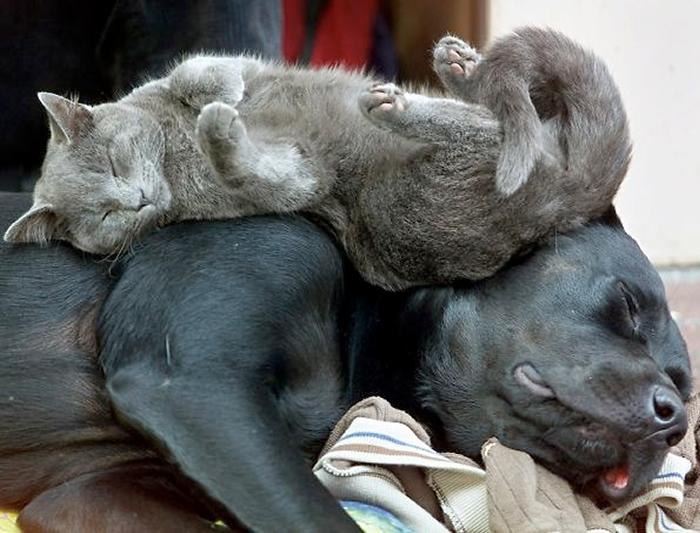 gatos-acostados-sobre-perros-06