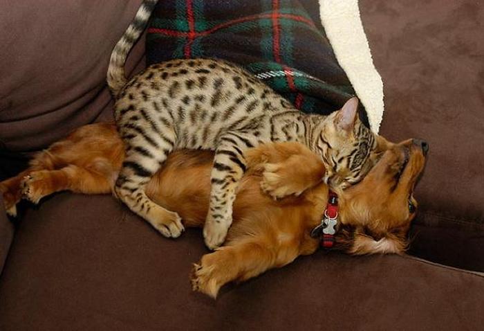 gatos-acostados-sobre-perros-07