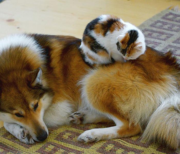 gatos-acostados-sobre-perros-10