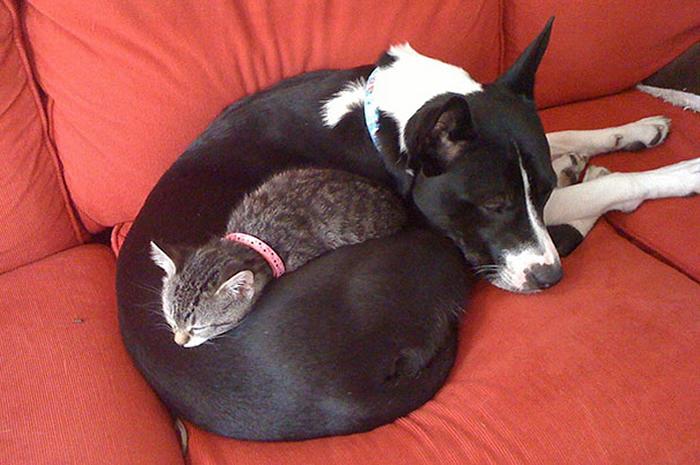 gatos-acostados-sobre-perros-11