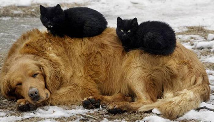 gatos-acostados-sobre-perros-13
