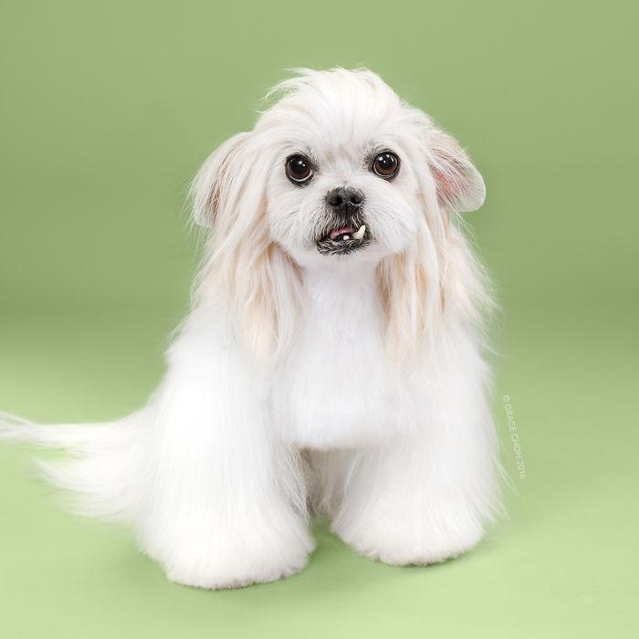 fotos-perros-antes-despues-corte-pelo-grace-chon-1