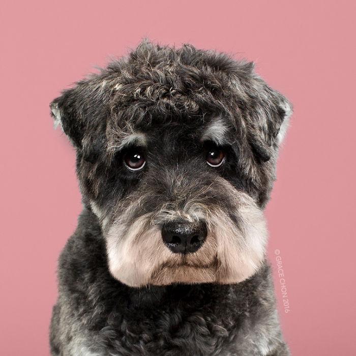 fotos-perros-antes-despues-corte-pelo-grace-chon-10