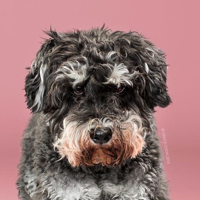 fotos-perros-antes-despues-corte-pelo-grace-chon-11