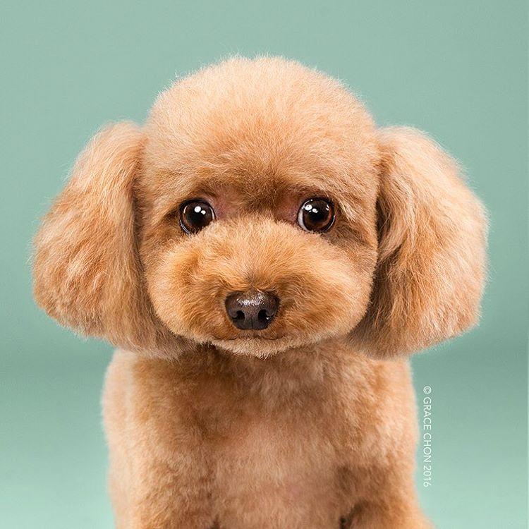 fotos-perros-antes-despues-corte-pelo-grace-chon-12