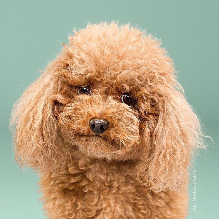 fotos-perros-antes-despues-corte-pelo-grace-chon-13