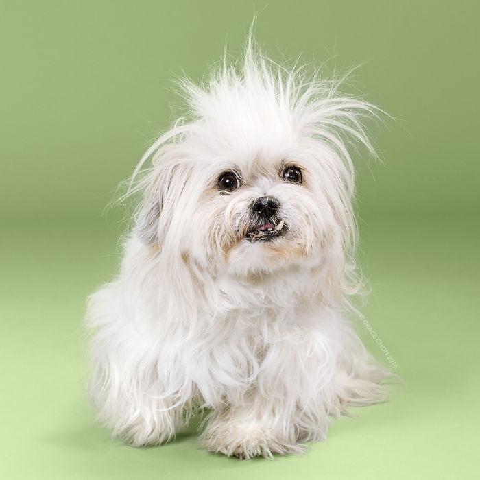 fotos-perros-antes-despues-corte-pelo-grace-chon-16