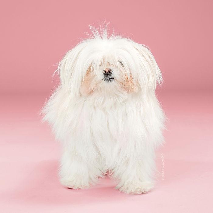 fotos-perros-antes-despues-corte-pelo-grace-chon-3