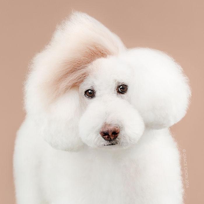 fotos-perros-antes-despues-corte-pelo-grace-chon-4