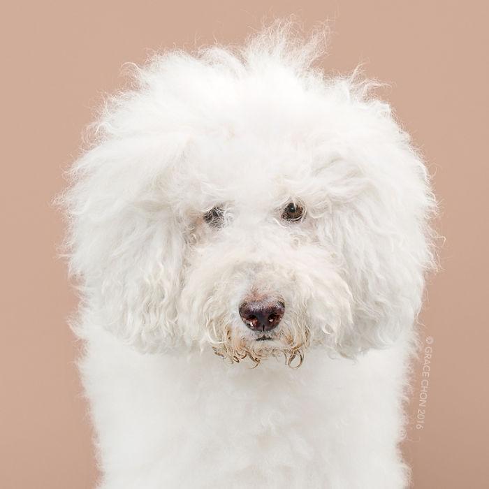 fotos-perros-antes-despues-corte-pelo-grace-chon-5
