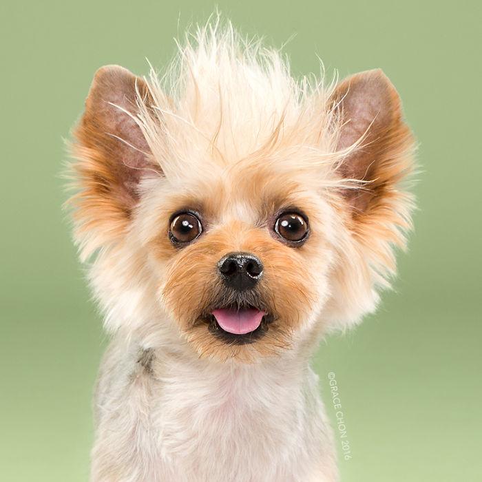 fotos-perros-antes-despues-corte-pelo-grace-chon-6