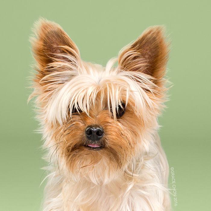 fotos-perros-antes-despues-corte-pelo-grace-chon-7