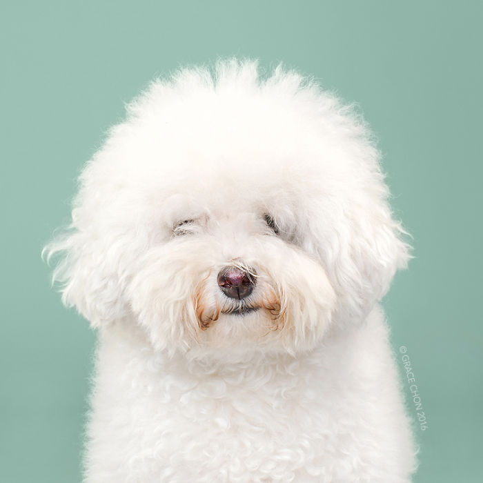 fotos-perros-antes-despues-corte-pelo-grace-chon-8