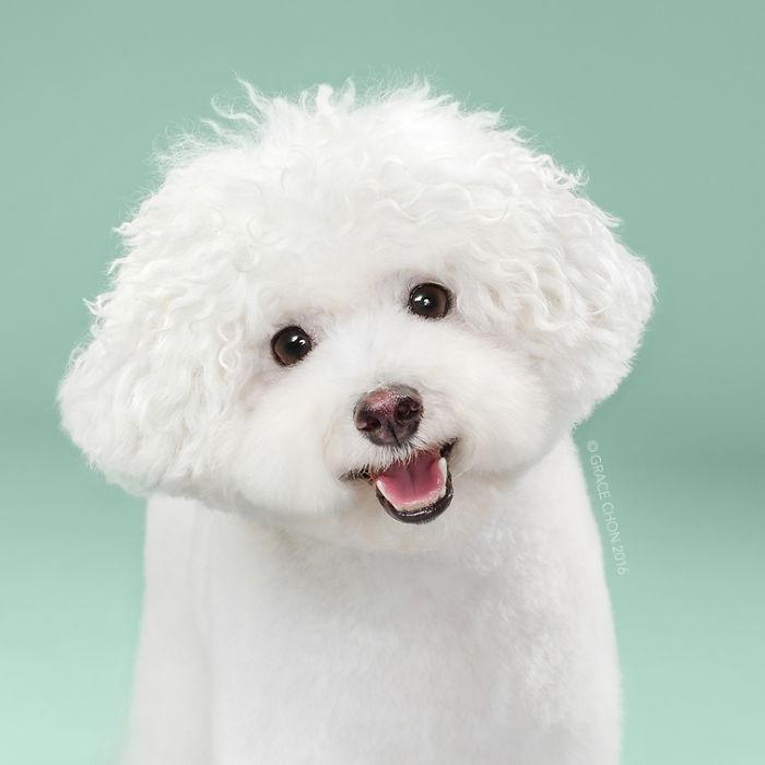 fotos-perros-antes-despues-corte-pelo-grace-chon-9